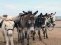 2817redcarbeachdonkeys2008.jpg